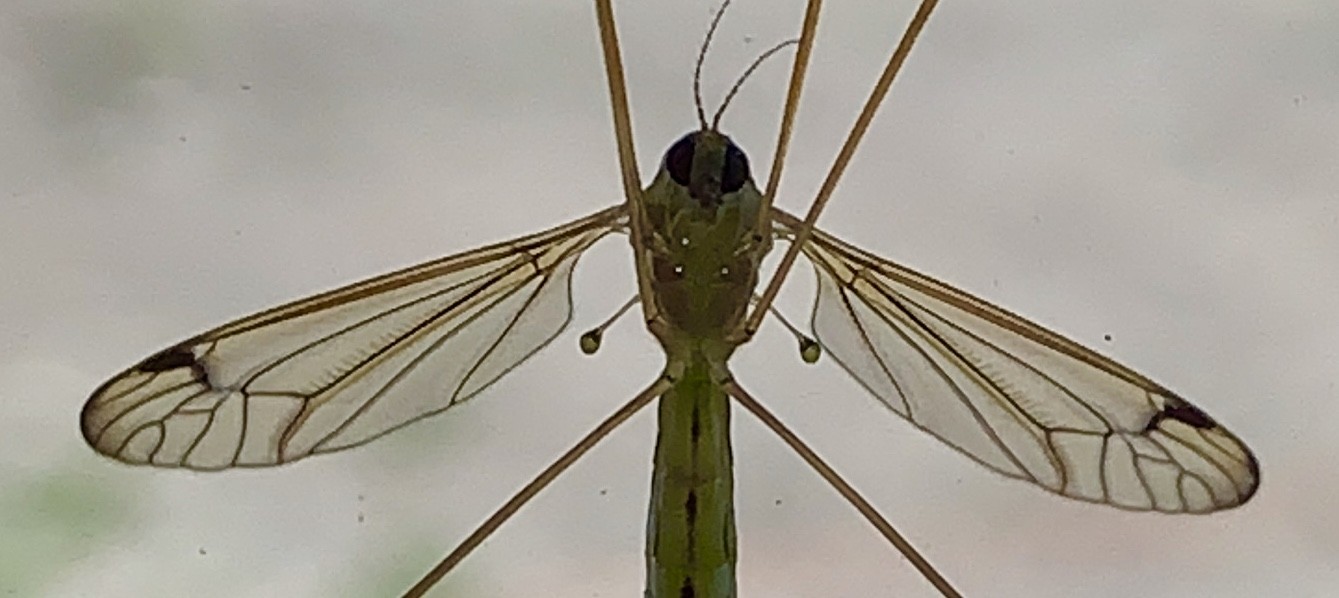 A close-up image of a crane fly, featuring the creature's halteres